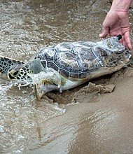 On July 10 at 9 a.m., the Virginia Aquarium & Marine Science Center's Stranding Response Team will release the turtles behind the Neptune Statue at 31st Street.