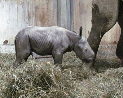 Fiona the hippopotamus is going to have to share the limelight with Kendi, an eastern black rhino born Monday at ...