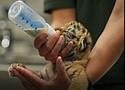 Zoya is bottle fed for the last time by a Philadelphia Zookeeper.