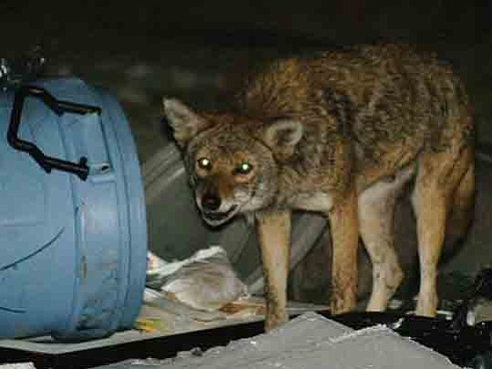 Coyote sightings continue to rise around the southland, with some of these incidents culminating in deadly results. Shortly after dawn ...