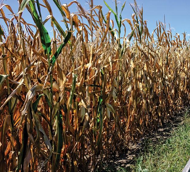 Sun-baked cornfield in Eastern Henrico