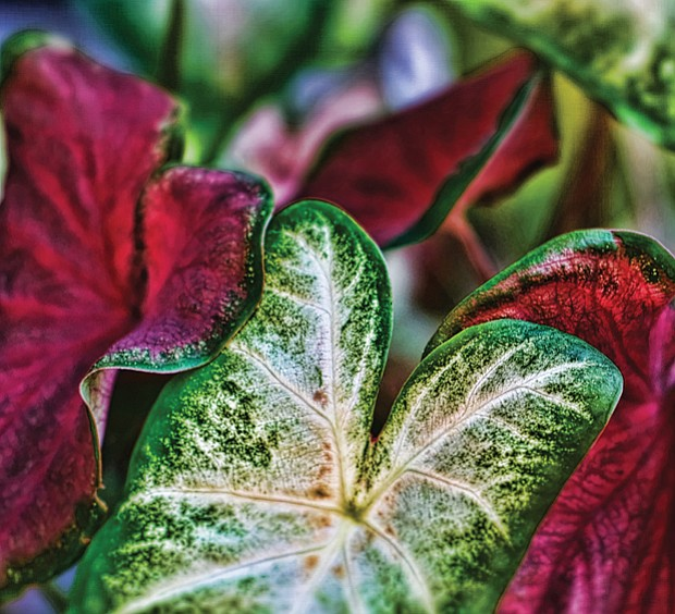 Coleus in the East End