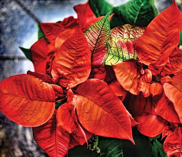 Vibrant poinsettia for the season