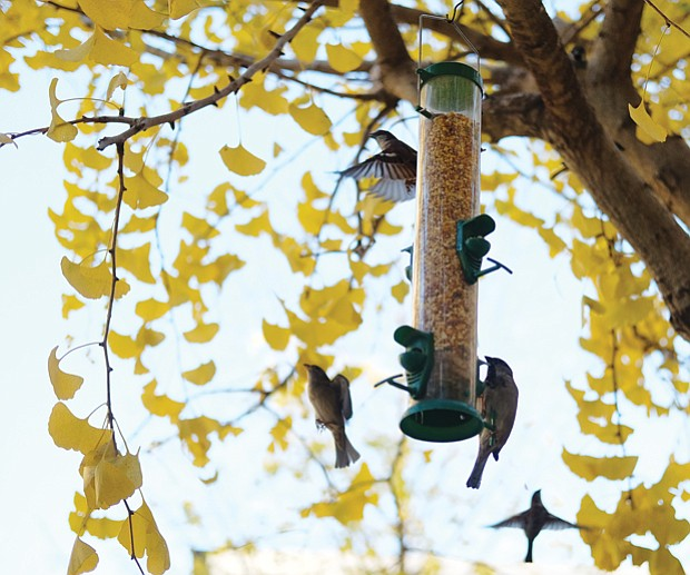 Birds flock to a feeder at 4th and Grace streets in Downtown.