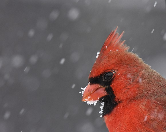 After eight months of competition, a Homer Glen man's photo of a snowcapped cardinal at Isle a la Cache preserve ...
