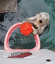 Eddie, the Oregon Zoo's geriatric sea otter can still dunk with the best of them.