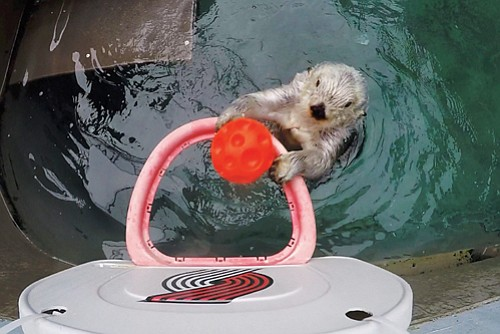 Eddie, the Oregon Zoo's ultra-geriatric sea otter, turned 20 Friday, but keepers and basketball experts agree: He can still dunk ...