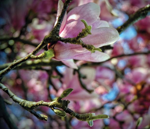 Saucer magnolia bloom in North Side