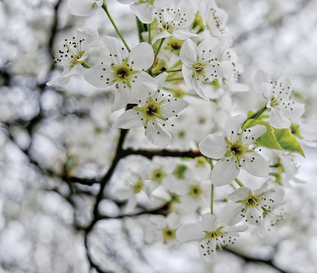 Bradford pear blooms in North Side