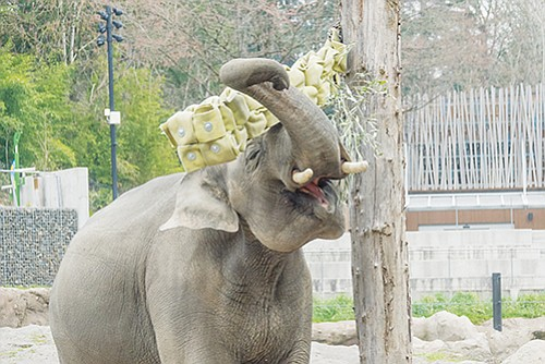The Oregon Zoo's Asian elephant Samudra plays with a creative new feeder made from a donated fire hose and mounted ...