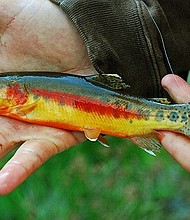 Creative commons image of a golden trout by DaveWiz84.