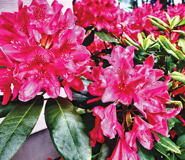 Rhododendron splendor in North Side //