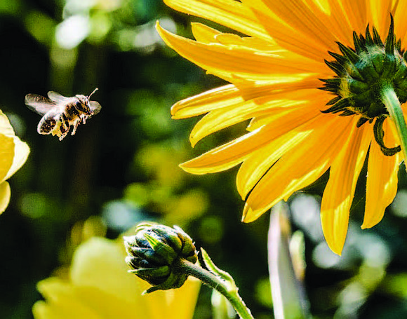 Bees are essential for the pollination of so much of the food Americans eat. Guillermo Fernandez, Director of The Honeybee ...