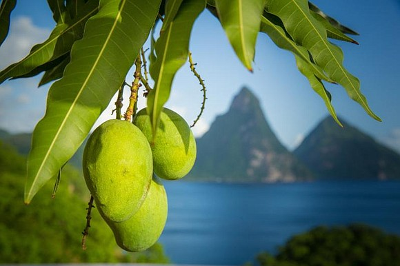 Guests at St. Lucia's luxury resort Anse Chastanet are in for a special treat when Mango Madness returns from June ...