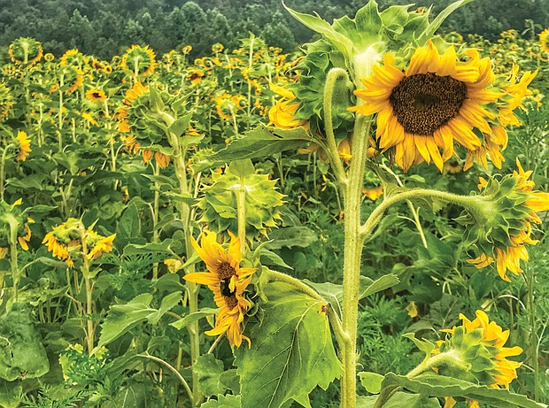 Field of sunflowers in Goochland