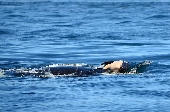 An ailing and emaciated orca named Scarlet could get food and antibiotics soon -- if biologists can find her before ...
