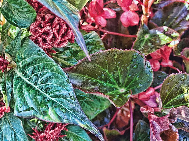 Morning dew on begonias in the West End.