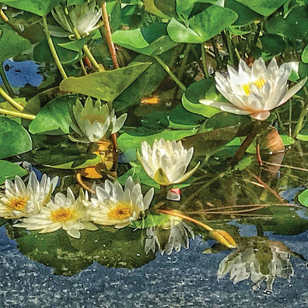 Water lilies in the Museum District (Sandra Sellars/Richmond Free Press)