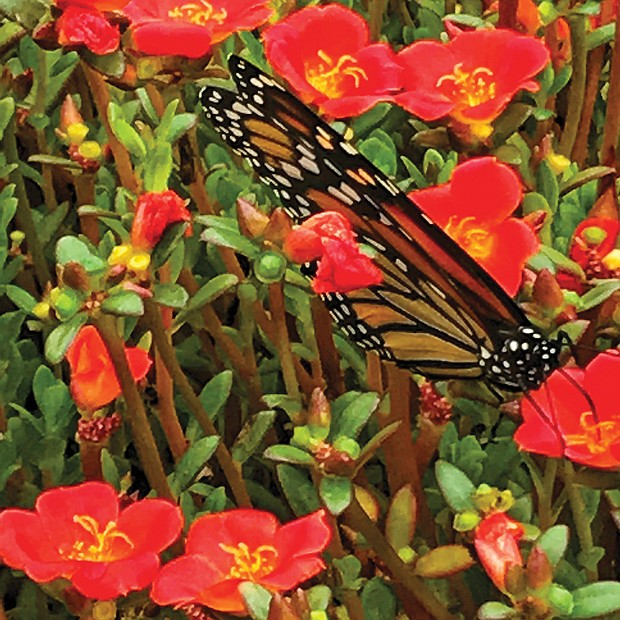 Butterfly among annuals in West End
