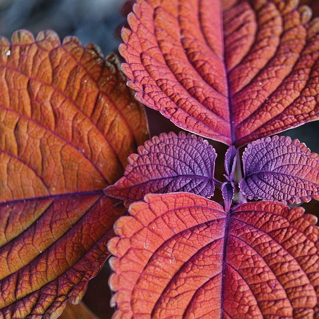 Coleus in North Side (Sandra Sellars/Richmond Free Press)