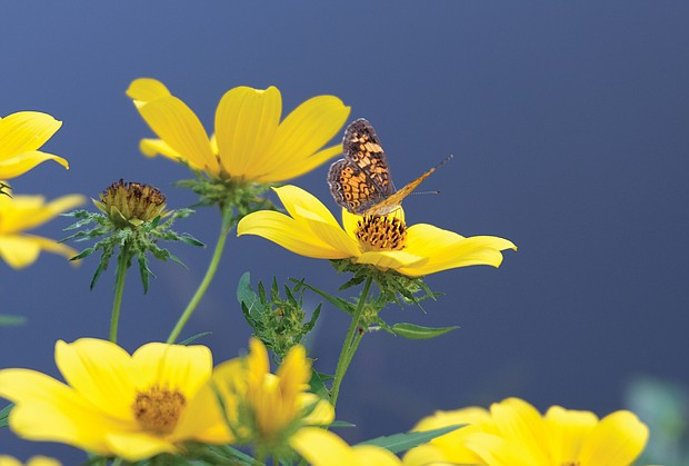 A moth in South Side (Sandra Sellars/Richmond Free Press)