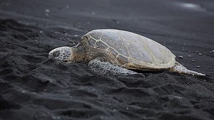 Beautiful endangered green sea turtles are a top draw on Punalu'u black sand beach in Hawaii.