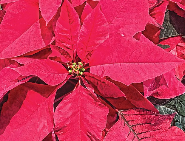 Poinsettia in the West End