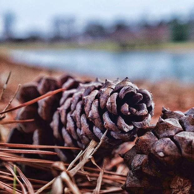 Pine cones in Byrd Park (Sandra Sellars/Richmond Free Press)