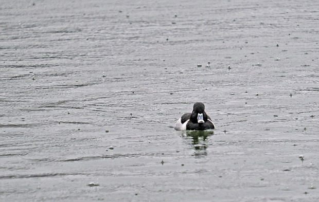 Duck in Fountain Lake at Byrd Park (Sandra Sellars/Richmond Free Press)
