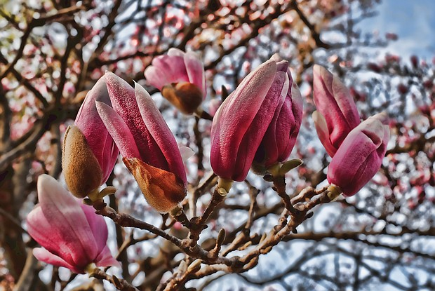 Saucer magnolia on South Side (Sandra Sellars/Richmond Free Press)