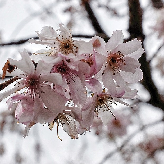 Spring blooms in North Side (Sandra Sellars/Richmond Free Press)