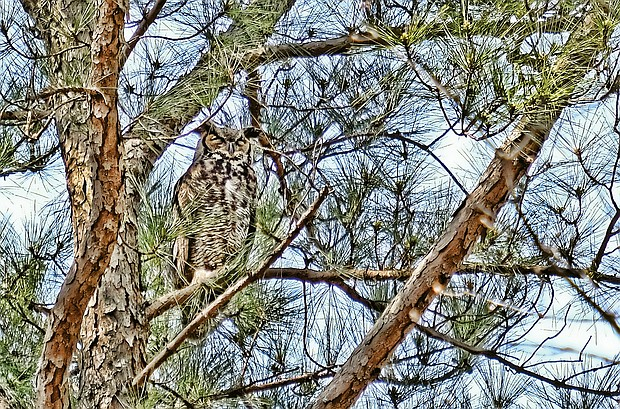 Great horned owl in Bryan Park (Sandra Sellars/Richmond Free Press)