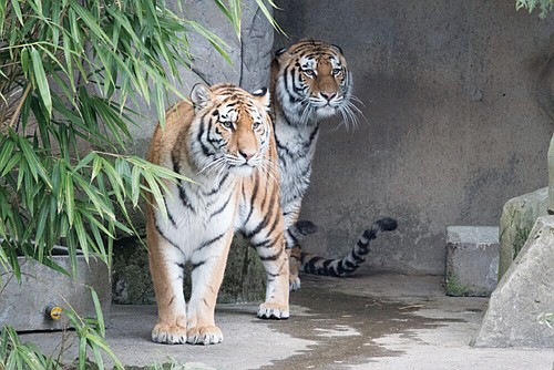 Two new Amur tigers to the Oregon Zoo, sisters Eloise and Bernadette, have begun venturing outside to explore their surroundings. ...