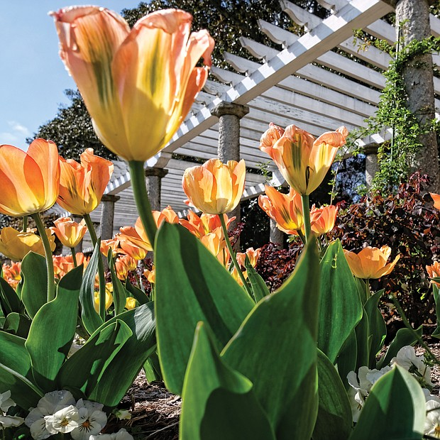 Tulips at Maymont (Sandra Sellars/Richmond Free Press)