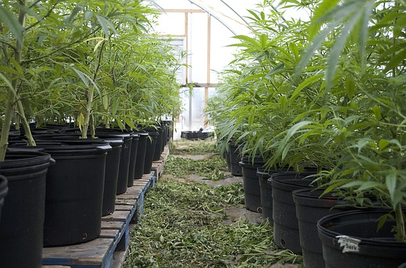 At first glance, it looks like a stoner's paradise: Acres of plants that resemble marijuana. But this crop is hemp, ...