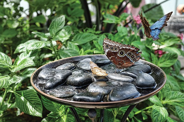 'Butterflies Live' at Lewis Ginter Botanical Garden (Sandra Sellars/Richmond Free Press)
