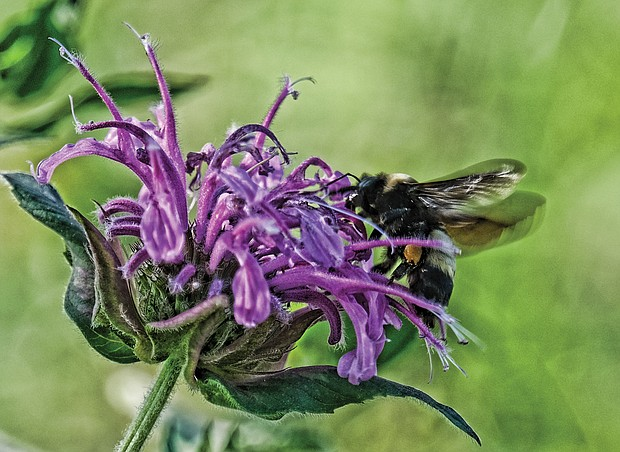 Busy bee on South Side (Sandra Sellars/Richmond Free Press)