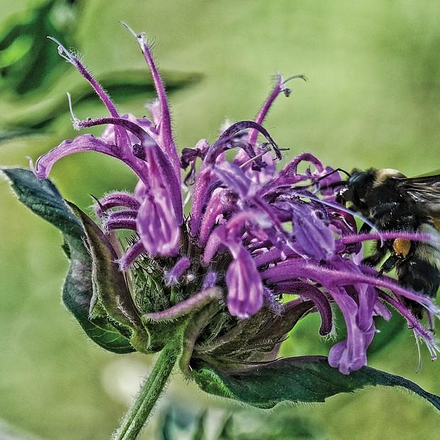 Busy bee on South Side (Sandra Sellars/Richmond Free Press)