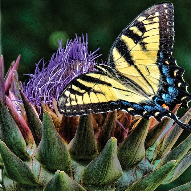Butterfly and thistle in the West End (Sandra Sellars/Richmond Free Press)