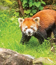 """The Oregon Zoo extends its summer hours for """"Twilight Tuesdays,"""" featuring animals that are active at dusk, like Mei Mei the red panda above. Also includes fun activities for families, food and beverages from local vendors and live entertainment."""