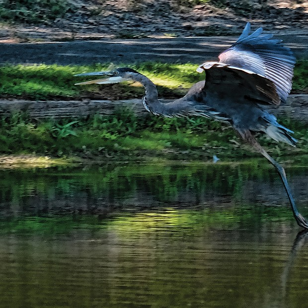 Heron in Eastern Henrico (Sandra Sellars/Richmond Free Press)