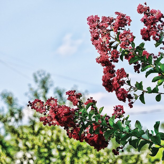 Crepe myrtles in North Side