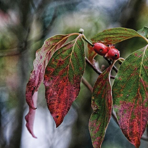 Changing foliage in North Side (Sandra Sellars/Richmond Free Press)