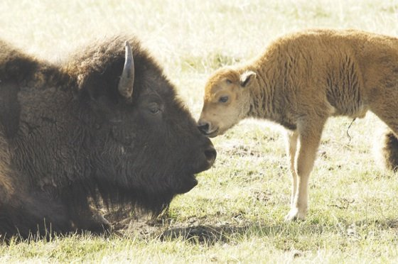 Nov. 1 was National Bison Day! The bison has been honored with a place on...