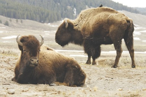 Did you celebrate National Bison Day?