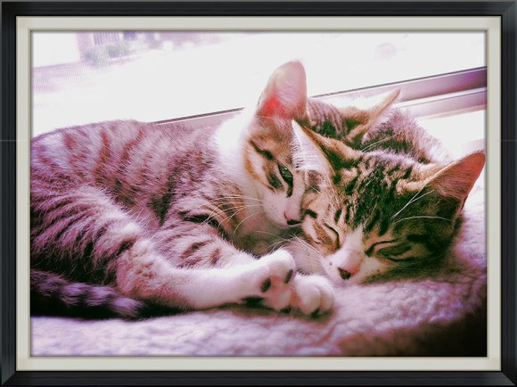 Meet Jake and Elwood, 3 month old male tabbies with super soft fur: These brothers are shy to start but ...