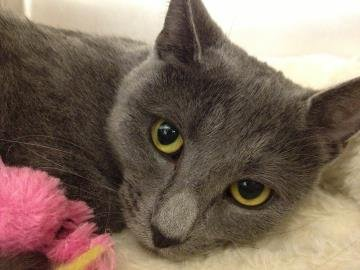 Rain is a shy 2-year old female Russian Blue/Mix available for adoption