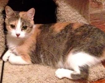 Saxa is a gentle 2-year old female Domestic Shorthair Mix available for adoption
