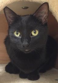 Midnight Poe is a kind and gentle 3 year old male black domestic short hair cat available for adoption:
