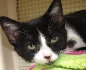 Ariel is a female 3 month old female black and white domestic shorthair cat available for adoption:
